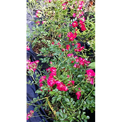 (Liner Pot) RED Cascade Rose, Miniature red Flowers, Weeping, Climber, Ground Cover and for Trellis, : Garden & Outdoor