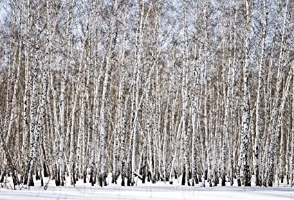 Amazon com : 7x5ft White Winter Birch Wood Photography
