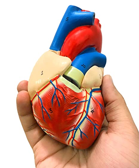 Amazon.com: SCIENCENT WITH DEVICE Life Size Human Heart Model 2 ...