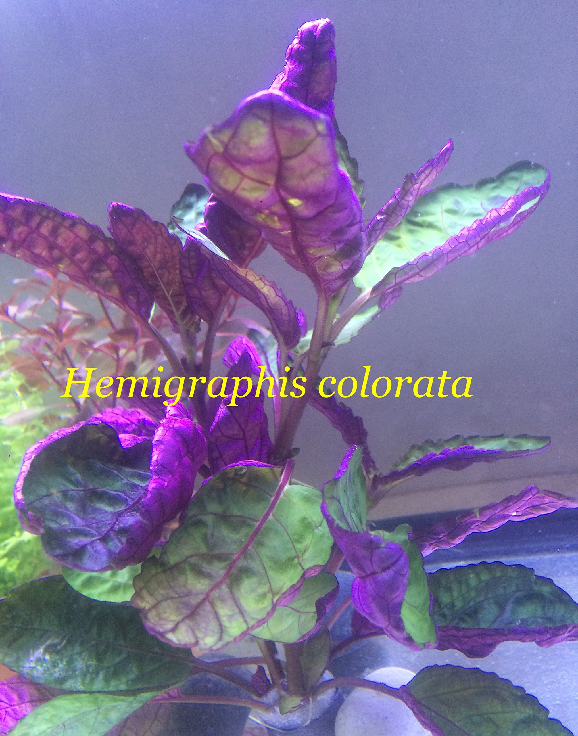 Exotic Live Aquatic Plant for Fresh Water Hemigraphis colorata Bundle B066 By Jyco **Buy 2 GET 1 Free by Jayco (Image #1)