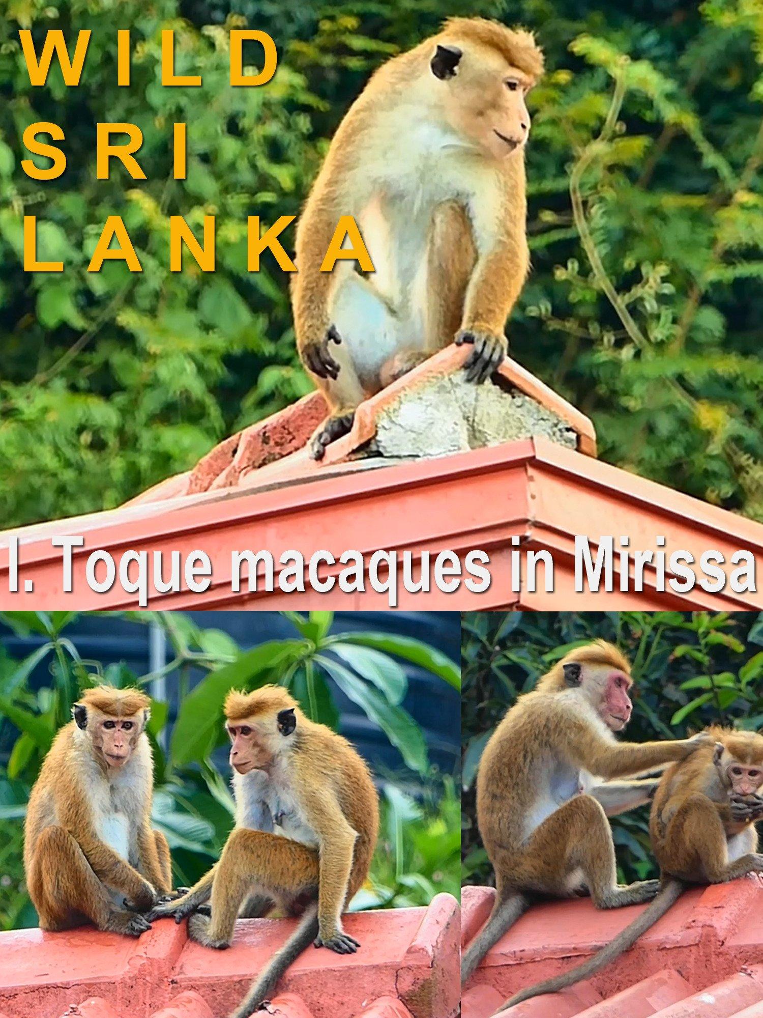 Wild Sri Lanka. I. Toque macaques in Mirissa by