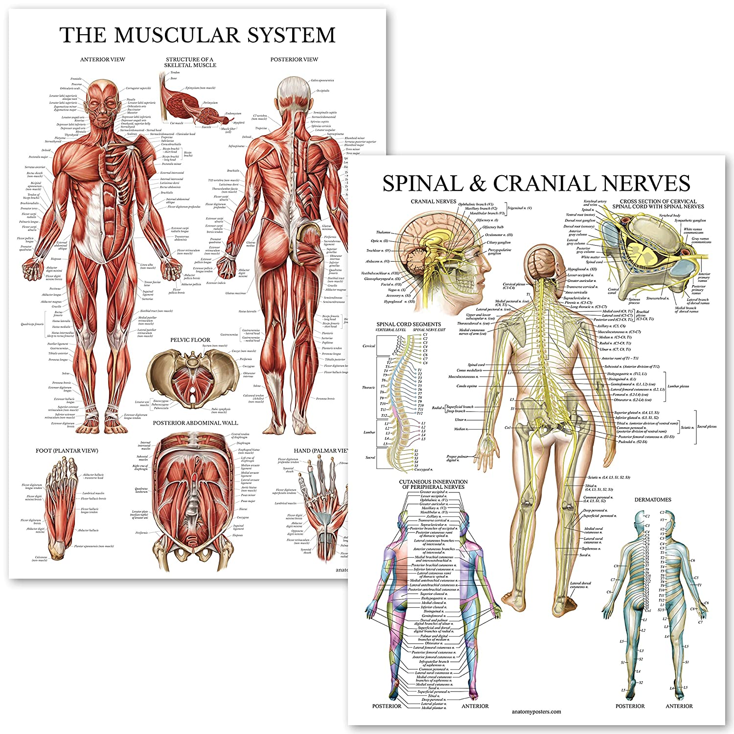 Muscular System Spinal Nerves Anatomical Poster Set Laminated