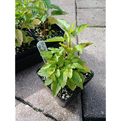 Skullcap, Mad Dog Skullcap, Scutellaria lateriflora, 4in Potted Plant, Skullcaps, GMO Free Plants, Organic Plants : Garden & Outdoor