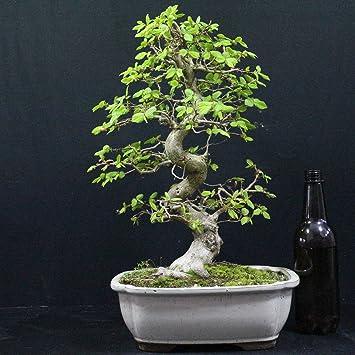 Carpe coreano, Carpinus coreana, bonsái para exterior, 24 años, altura 35 cm