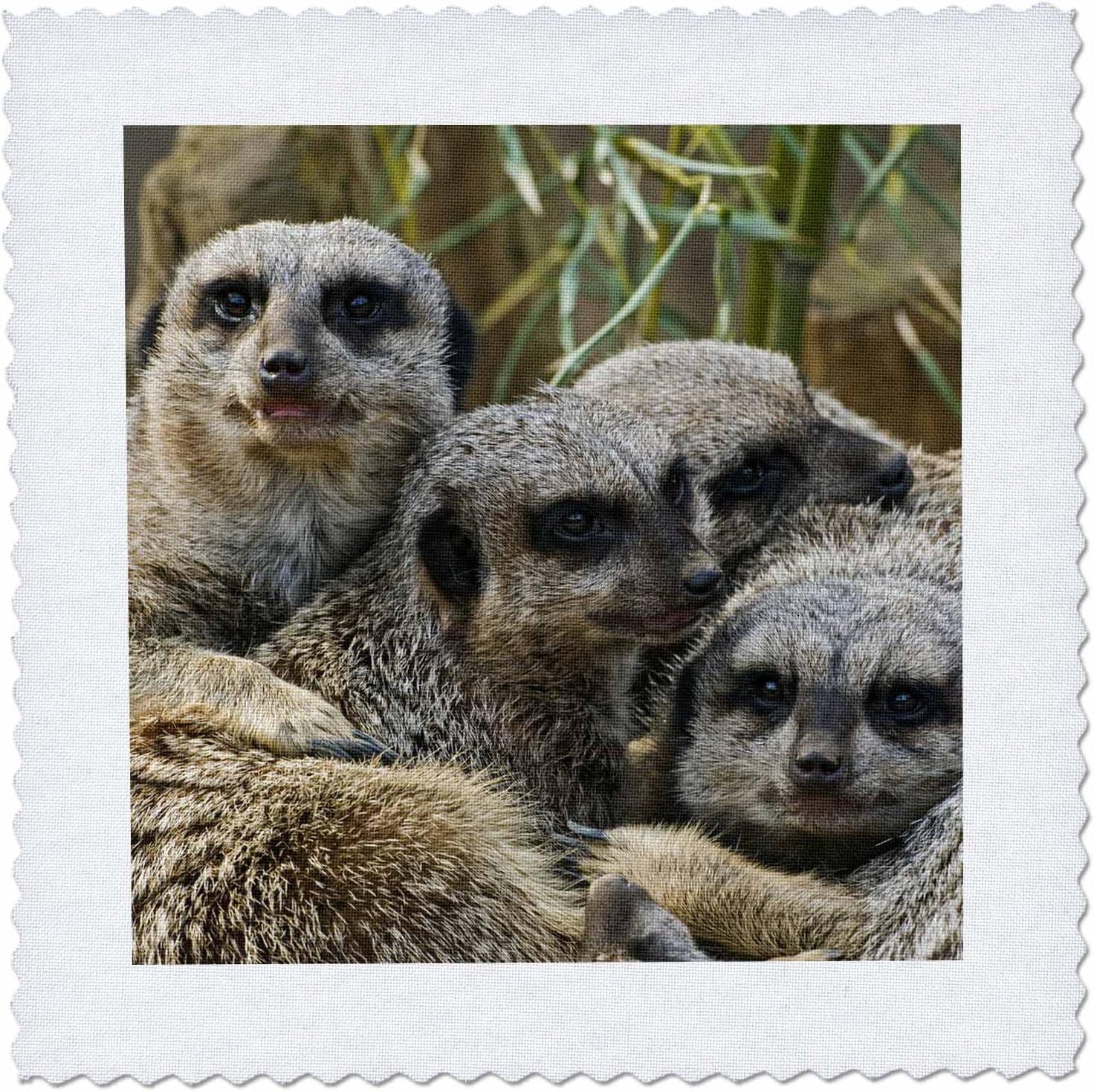 Amazon Com 3drose Qs 90367 5 Meerkats Louisville Zoo Louisville Kentucky Us18 Aje0300 Adam Jones Quilt Square 14 By 14 Inch