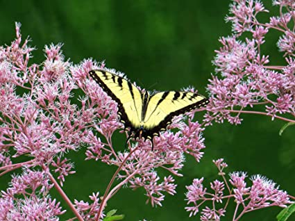 Joe Pye Weed Seeds Butterflies /& Hummingbirds FREE SHIP Variety Packet Sizes