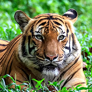Amazon Tiger Live Wallpapers Appstore For Android