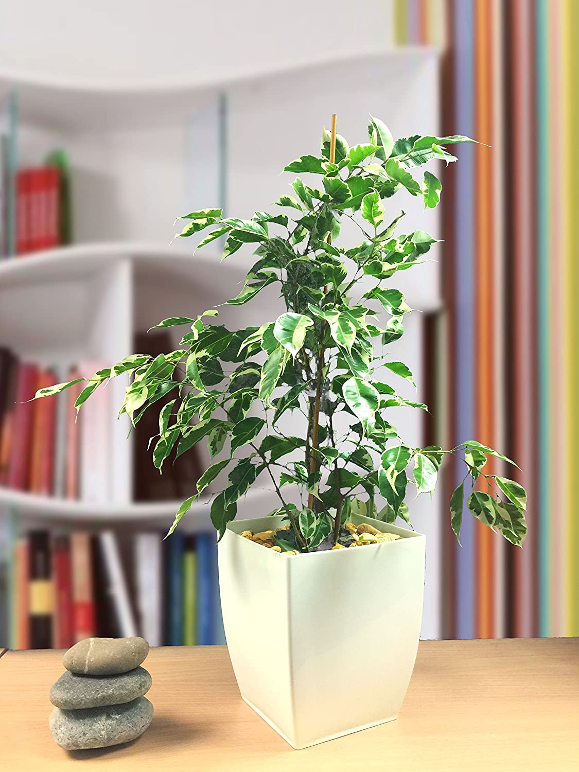 1 Evergreen Ficus Golden King Weeping Fig House Plant in Gloss White Milano Pot Easy Plants