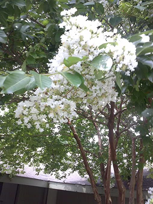 Amazon.com: \'NATCHEZ\' CRAPE MYRTLE,grand white flowers, in 3 gal pot ...