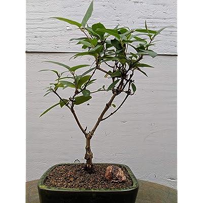 Japanese Honeysuckle Bonsai Tree: Garden & Outdoor