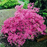 Azalée Mollis rose - 1 arbrisseau