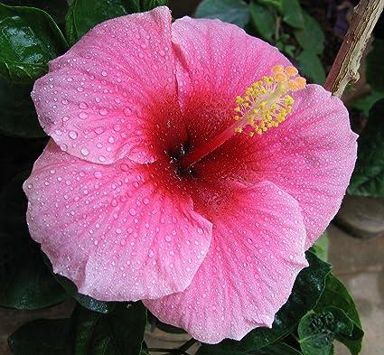 Amazoncom Hawaiian Pink Hibiscus Cutting 4 Pack Flowering