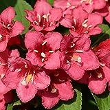 """Dominik Blumen und Pflanzen, Weigelie""""Bristol Ruby"""", rot blühend, 1 Strauch, 3-5 triebig, 30-40 cm hoch, 2 Liter Container, plus 1 Paar Handschuhe gratis"""