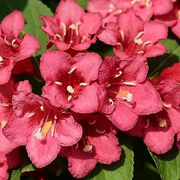 Dominik Blumen Und Pflanzen Weigelie Bristol Ruby Rot Bluhend 1