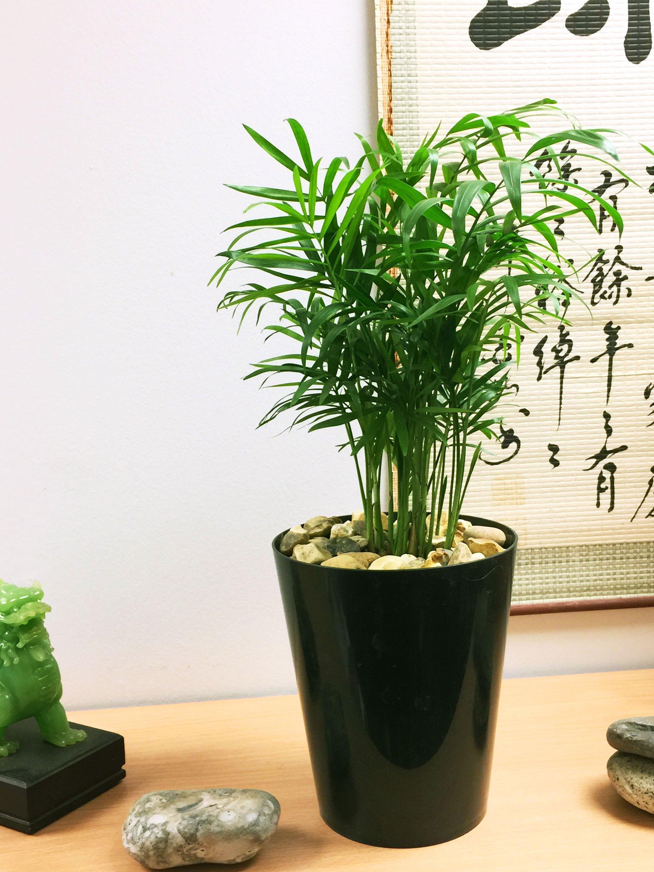 60-70cm tall Chamaedorea elegans plant in a 17cm pot Parlour Palm