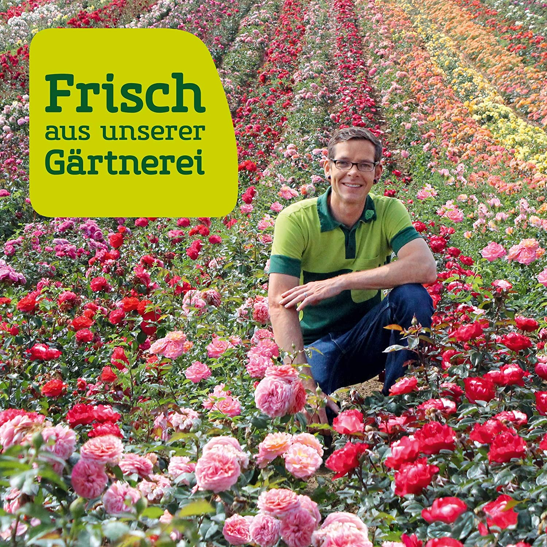 "frisch aus der G/ärtnerei Gartenrose Pflanzen K/ölle Bodendeckerrose /""Alcantara im 6 L Topf dunkelrot bl/ühende Topfrose"