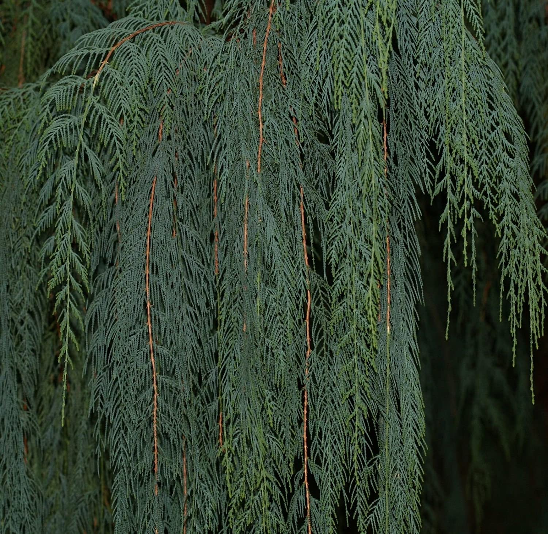 Cupressus cachemeriana KASHMIR CYPRESS Seeds!