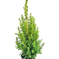 Blue Farmers   Sapin de Noël en pot   Sapin réutilisable à vie   Epicéa en pot   Cadeau parfait pour les enfants   Hauteur 50CM