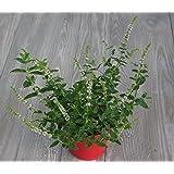lichtnelke - Marokkanische Minze (Mentha spicata var. spicata)