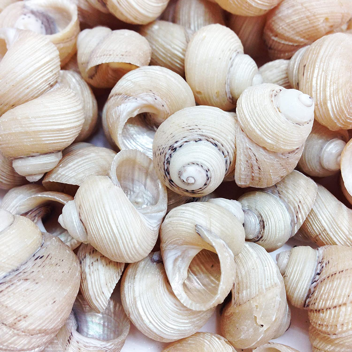 PEPPERLONELY Grooved Turbo Sea Shells, 8 OZ Apprx. 100+ PC Shells, 1/2Inch ~ 3/4 Inch