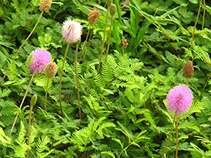 Amazon unusual flowering ground cover sunshine mimosa unusual flowering ground cover sunshine mimosa sensitive plant mightylinksfo