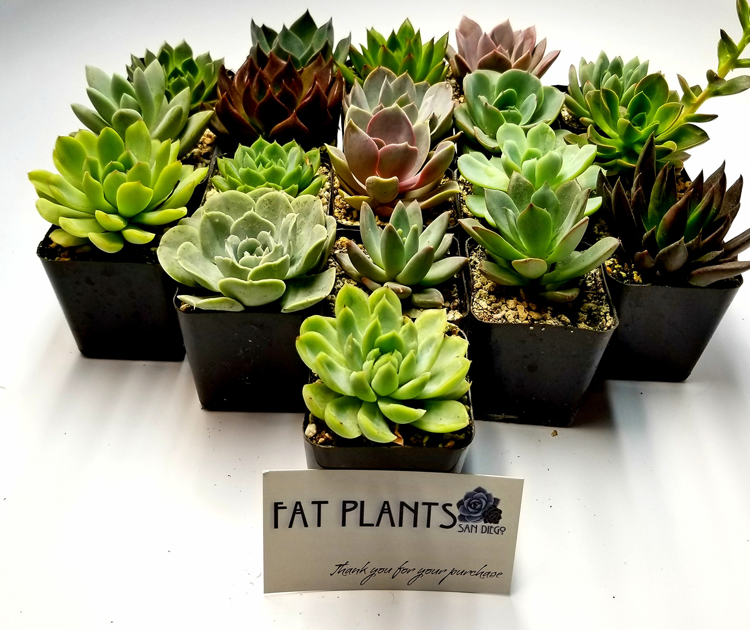 Fat Plants San Diego 2.5 Inch Wedding Rosette Succulent Plants (12) by Fat Plants San Diego (Image #2)