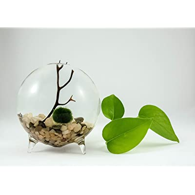 Marimo Moss Ball Terrarium Aquarium Zen Garden Globe: Kitchen & Dining