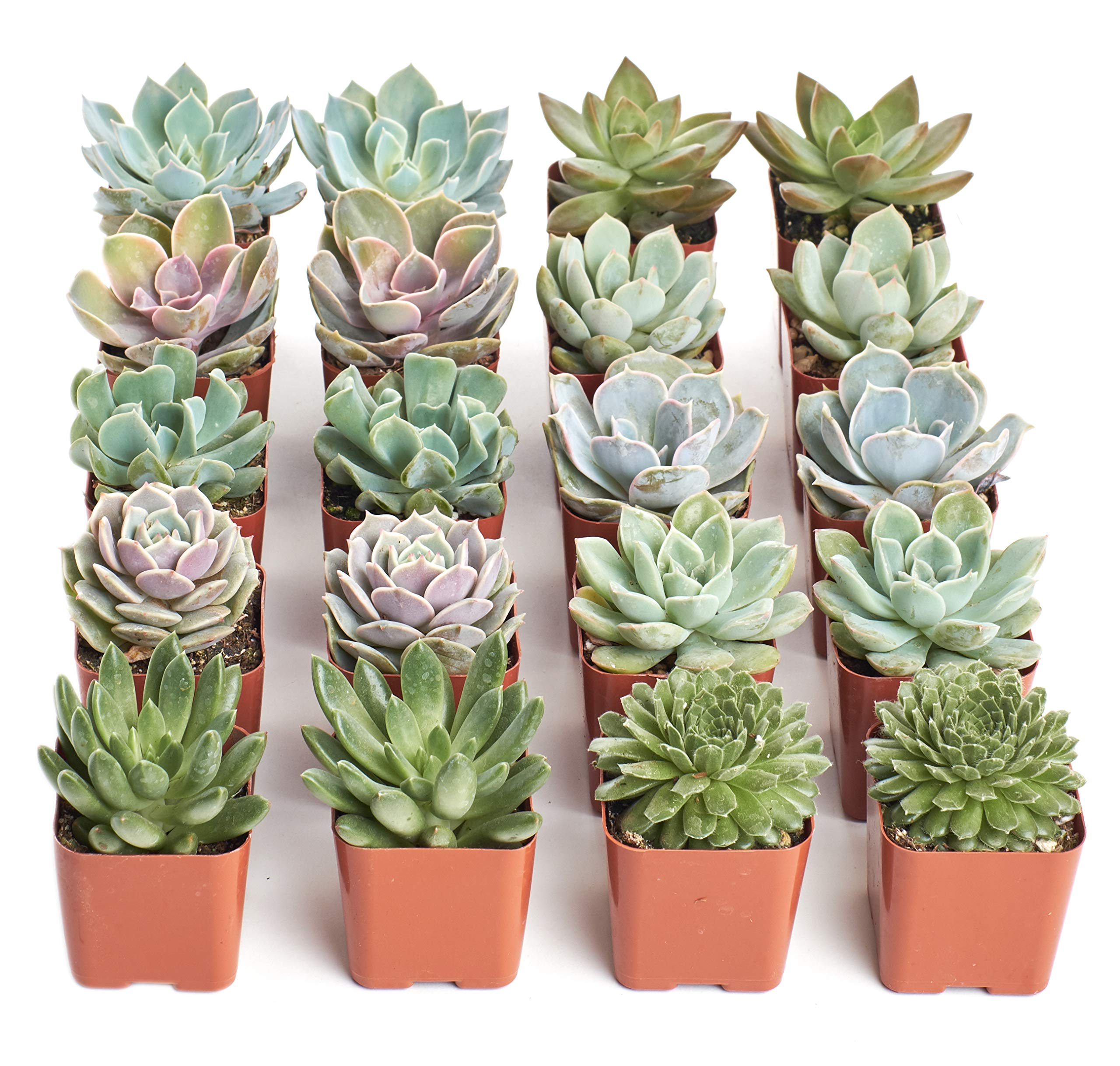 """in 2/"""" Pots FREE SHIPPING 4 Echeveria Succulents from variety shown"""