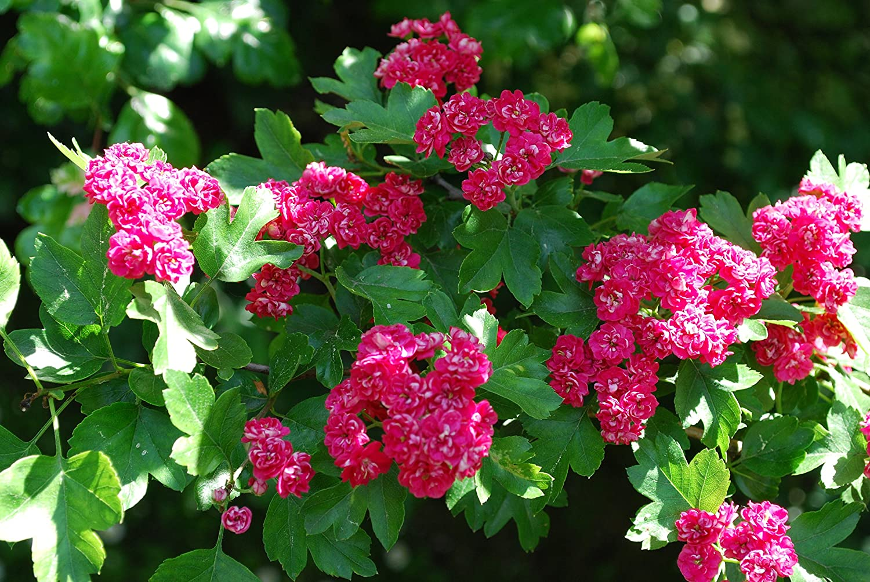Crataegus Laevigata 4-5ft in a 5L Pot 3fatpigs/® Midland Hawthorn Pauls Scarlet