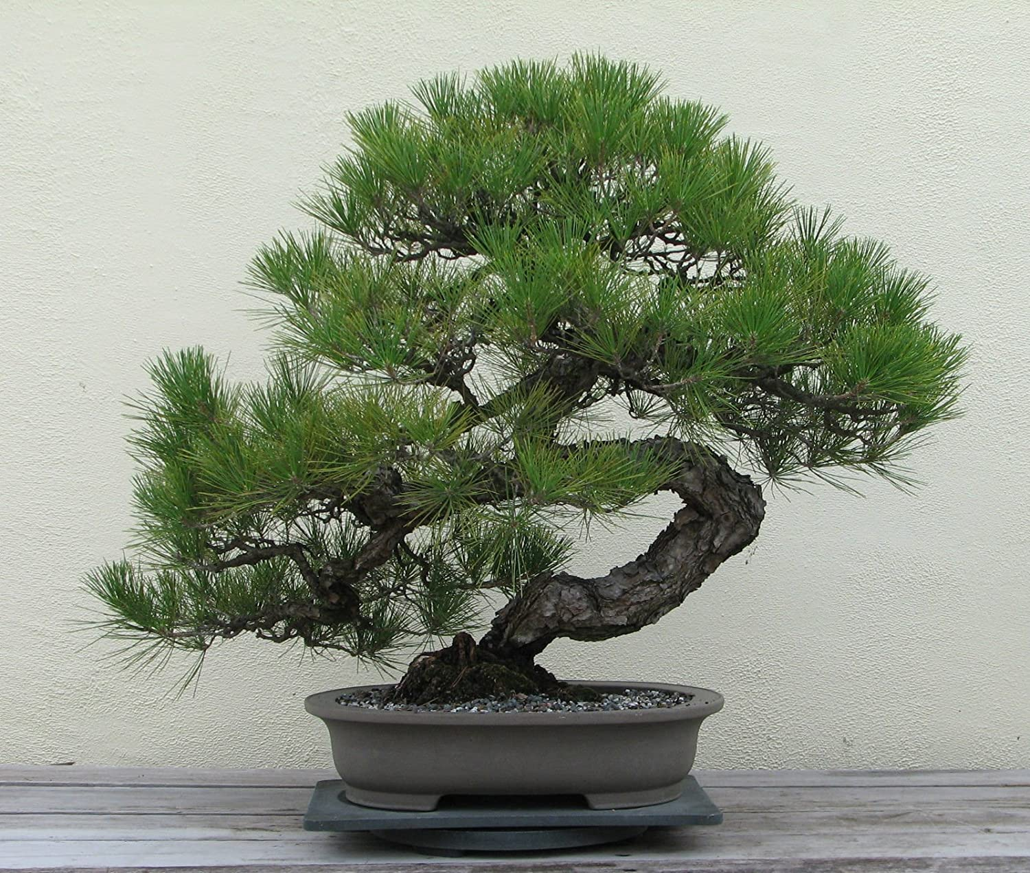 Amazon Com Japanese Black Pine Seeds Bonsai Tree Exotic Tree Houseplant 6 Seed Garden Outdoor