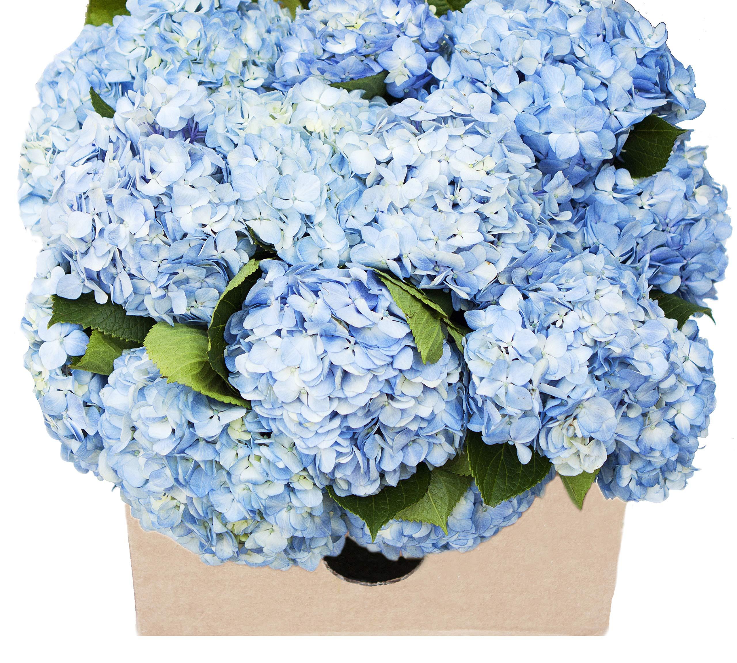 Blooms2Door 30 Blue Hydrangeas (Farm-Fresh, Naturally Colored, Premium Quality) by Blooms2Door (Image #1)