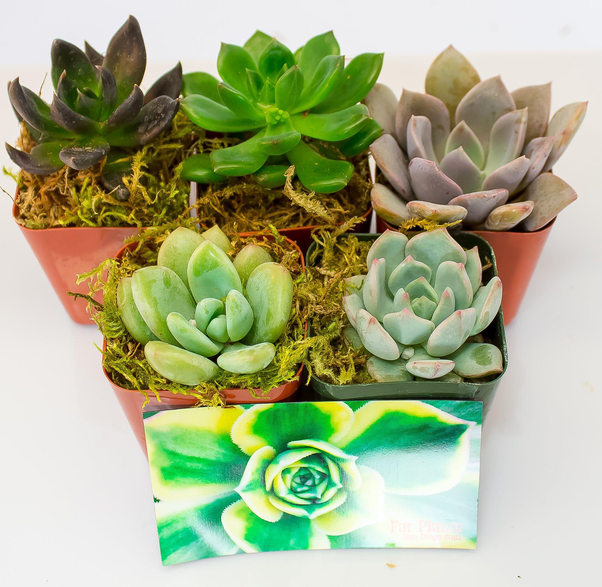 Fat Plants San Diego All Rosette Succulent Plants in 2 Inch Pots (5)