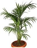 Plantsguru Areca Palm