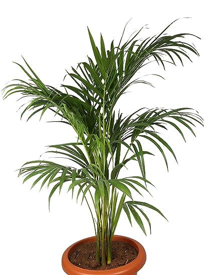 Choloroplants Areca Palm Plant Amazonin Garden Outdoors