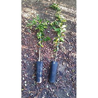 Valencia Orange Tree-2.5 to 3.5 ft tall-fruiting age-Grafted Citrus-Juicing-Live : Garden & Outdoor