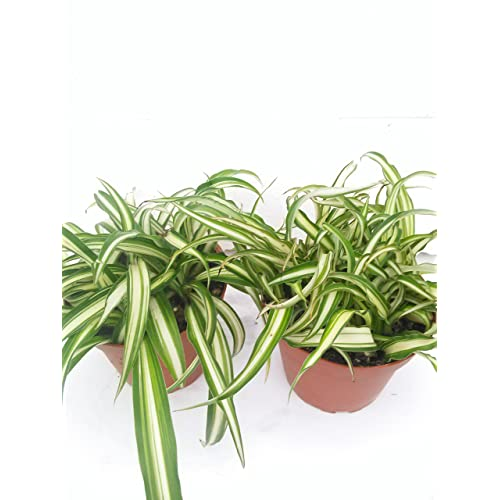 Growing A Spider Plant: Spider Plant Indoor: Amazon.com