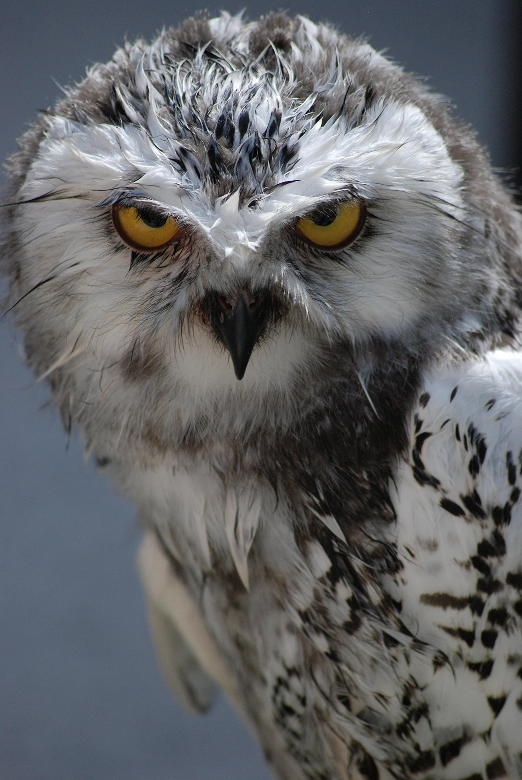 White Owl With Yellow Eyes by