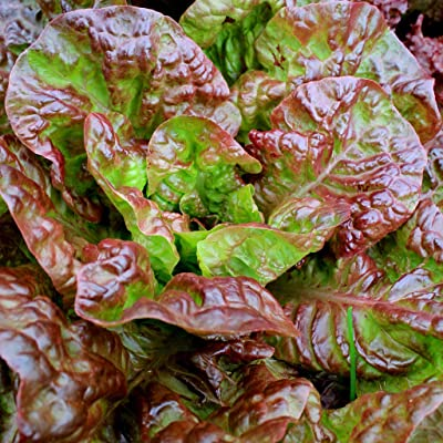 Ruby Red Lettuce : Garden & Outdoor