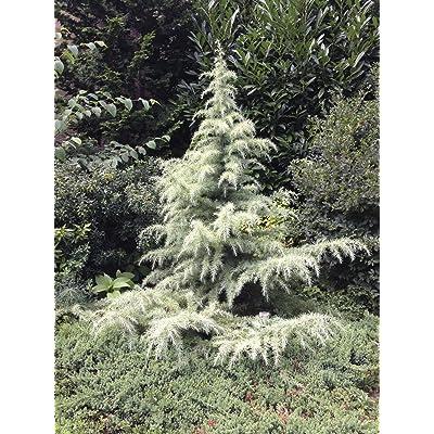 SNOW SPRITE DEODAR CEDAR (HIMALAYAN CEDAR) CEDRUS DEODARA 2 - YEAR Live Plant : Garden & Outdoor
