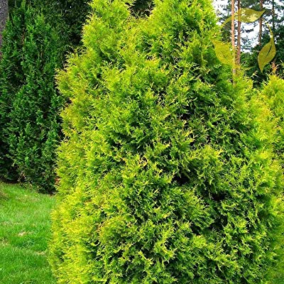 American Golden Arborvitae Thuja Occidentalis Aurea 25 Seeds : Garden & Outdoor