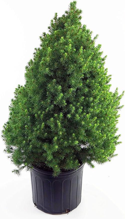 Picea Glauca Conica Dwarf Alberta Spruce Evergreen 2 Size Container