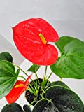 Jmbamboo - Summer Special - Hawaiian Red