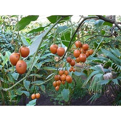 100 Cyphomandra betacea Seeds, Solanum betaceum Tree Tomato and Tomate de árb : Garden & Outdoor