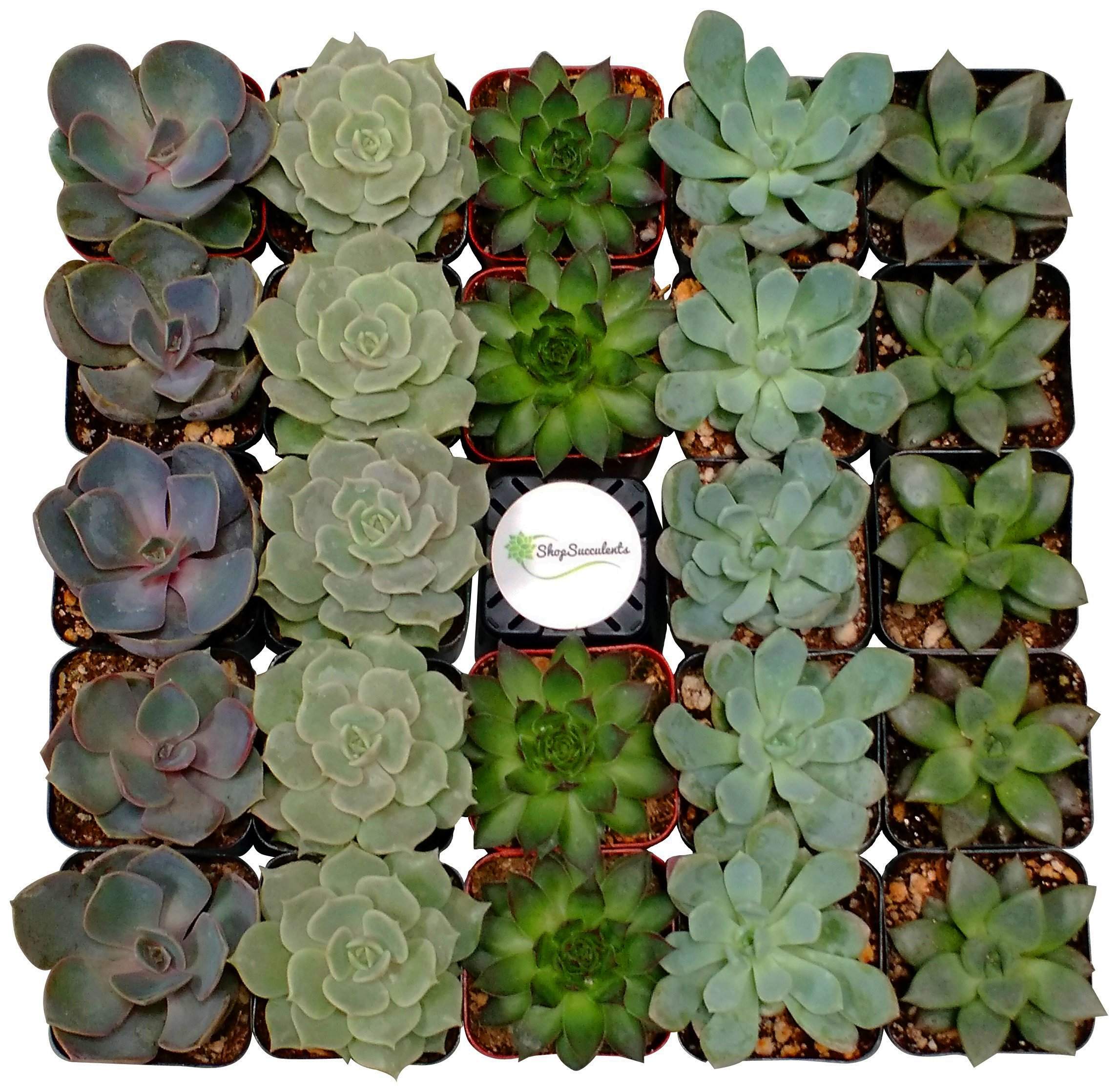 Shop Succulents Assorted Succulent (Collection of 256) by Shop Succulents