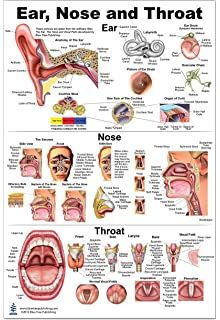 Amazon.com: Ear, Nose and Throat Anatomical Chart: Anatomical Chart ...