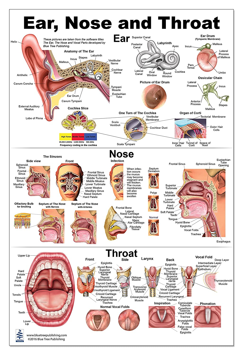 Amazon Ear Nose Throat Anatomy Poster 12x17inch Otolaryngology