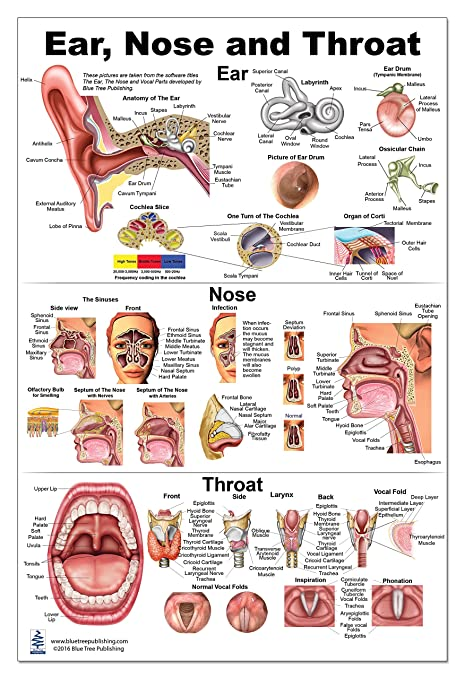 Ear Nose Throat Anatomy Poster 24x36inch Otolaryngology Amazon