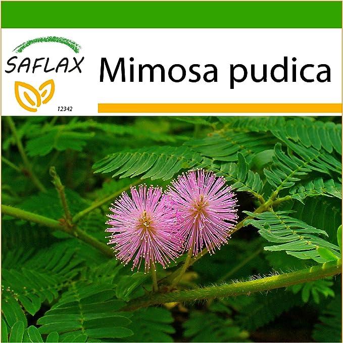 SAFLAX - Sensitiva - 70 semillas - Con sustrato - Mimosa pudica