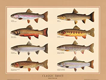amazon com classic trout fish poster and identification chart