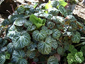 Buy Strawberry Begonia Saxifraga Stolonifera Online At Low Prices In India Amazon In